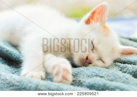 Cute White Siamese Kitten Sitting On Blue Carpet And Soft Blue Wall Background.picture For Website,m