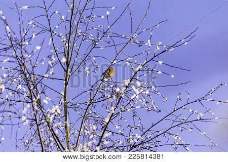 A Female Bullfinch (pyrrhula Pyrrhula)  Sits On The Top Of A Tree. Frosty Day, Blue Sky. The Middle
