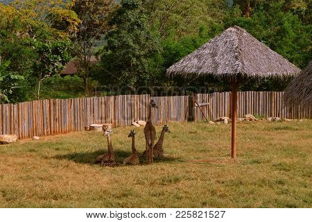 Family Of Giraffes Avoiding Sunshine By Staying In The Shadow From Crafty Hut