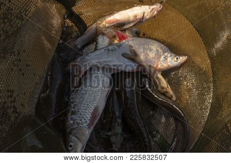 Fish In The Cage. Catch. Morning Catch Of A Fisherman. Freshwater Freshwater Fish Of Carp And Other