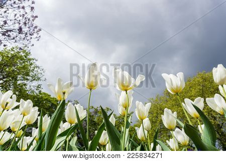 Close-up Of Beautiful White Tulips On A Green Meadow In Spring. View On A Field Full With Amazing Tu