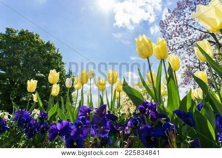 Close-up Of Beautiful Yellow Tulips On A Green Meadow In Spring. View On Mazing Yellow Tulip Flowers
