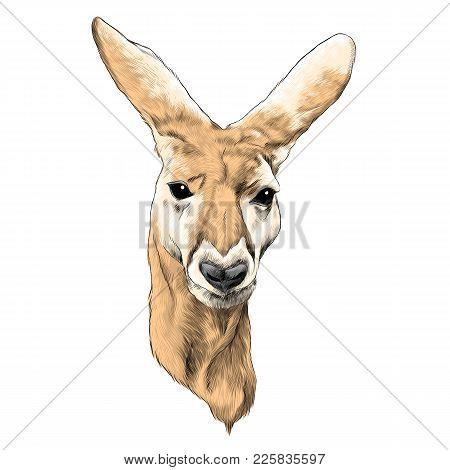 Kangaroo Head Sketch Vector Graphics Colored Drawing
