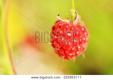 Organic Raspberry On Bush. Cultivation, Food. Raspberry Plantation. Macro Photo.
