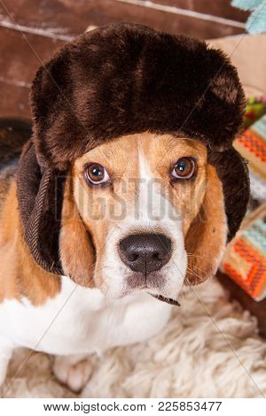 Lovely Beagle Dog In Russian Style Brown Fur Hat With Ear Flaps Sits And Looks Up To Camera On New Y