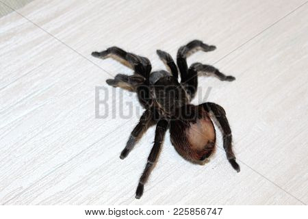 Spider Tarantula Brachypelma Albopilosum