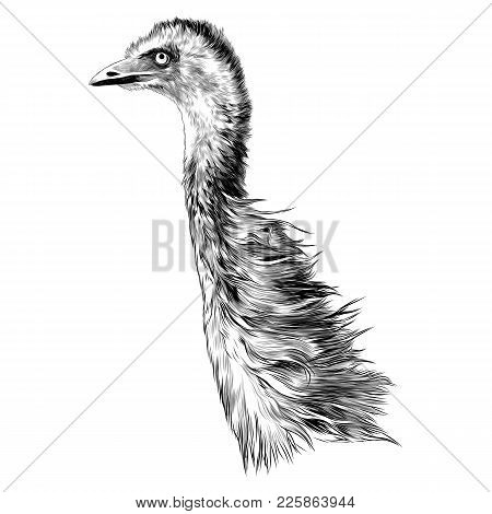 Ostrich Sketch Vector Graphics Color Picture Head