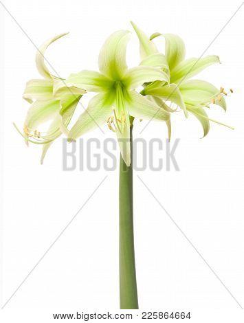 Hippeastrum Amaryllis Cybister Evergreen Isolated On White Background