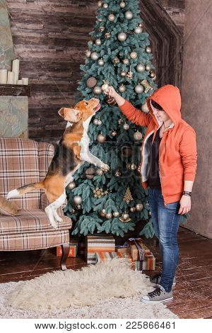 Young Woman With Pretty Beagle Dog Near New Year Tree. Obedient Pet With His Owner Practicing Jump C
