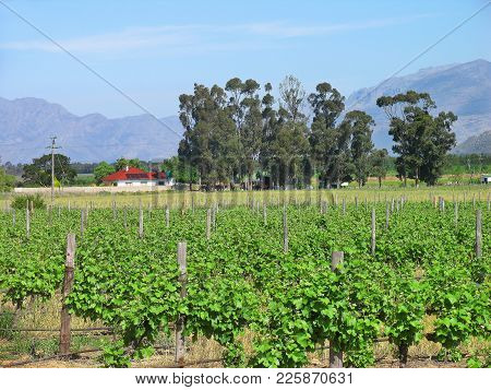 Farm Landscape, With Grape Vines In The Fore Ground And Trees And Mountains In The Back Ground 07