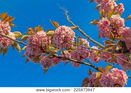 Cherry Blossoms On A Sunny Day. Sochi, Russia