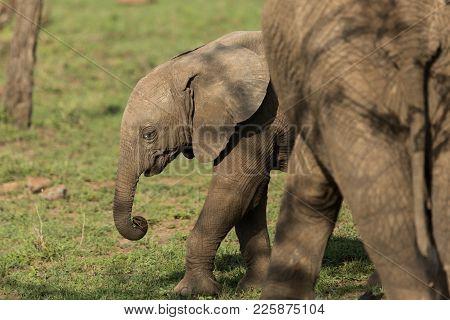 a young elephant calf on the grasslands of the Maasai Mara, Kenya