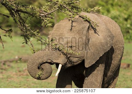 Closeup Of An Elephant Eating From A Tree In The Grasslands Of The Maasai Mara, Kenya