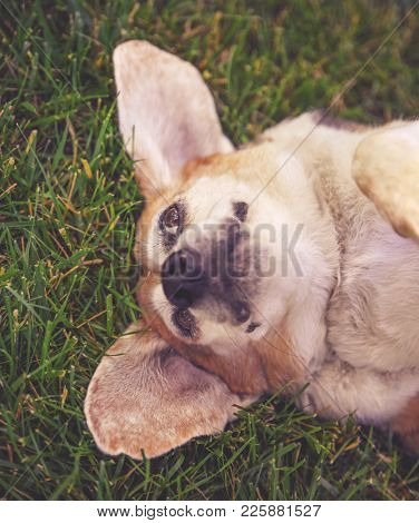 old senior cute beagle mix lying on her back in green grass on a warm summer day toned with a retro vintage instagram filter