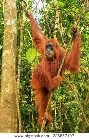 Female Sumatran Orangutan (pongo Abelii) Hanging In The Trees, Gunung Leuser National Park, Sumatra,