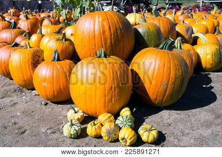 Pile Of Halloween Pumpkins At A Farm
