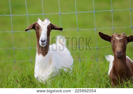 Hawaiian Goats Enjoying The Day In The Big Island Of Hawaii