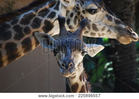 Baby And Mama Giraffe At Los Angeles Zoo Observing A Crowd Of People