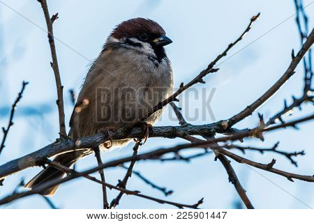 The House Sparrow (passer Domesticus)
