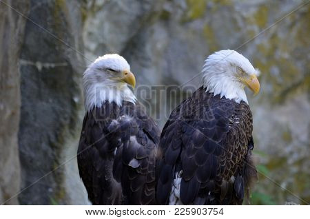 Pair Of American Bald Eagles With Hooked Beaks.