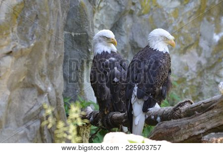 Pair Of Bald Eagles Beside A Rocky Cliff.