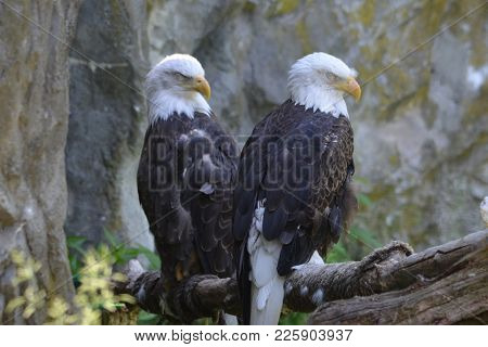 Great Capture Of A Resting Pair Of American Bald Eagles.