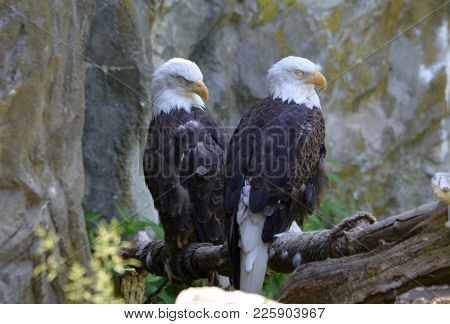 Resting Pair Of Bald Eagles Under A Rock Cliff.