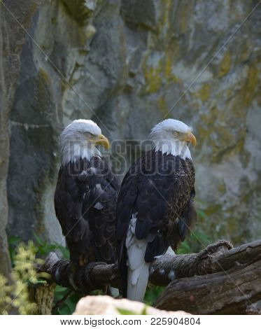Resting Pair Of Bald Eagles On A Tree Perch.