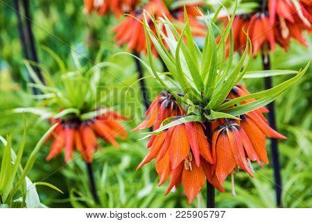 Lilly Orange Natural Spring Flowers In Garden, Closeup