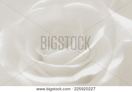 Close Up White Rose Petals Macro, Abstract Soft White Background, Creamy Romance And Soft Flower Hig