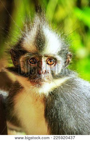 Portrait Of Thomas Leaf Monkey (presbytis Thomasi) In Gunung Leuser National Park, Bukit Lawang, Sum