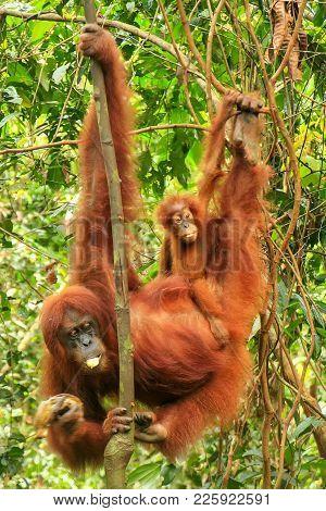 Female Sumatran Orangutan With A Baby Hanging In The Trees, Gunung Leuser National Park, Sumatra, In