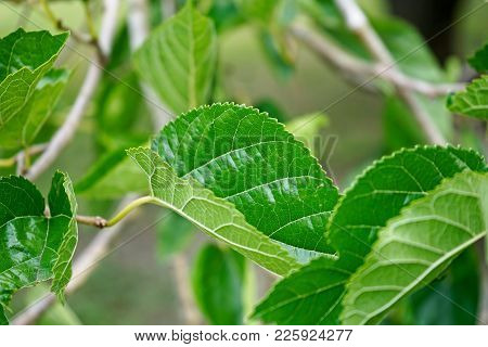 Mulberry Leaves On The Tree Closeup Showing The Prominent Veins.