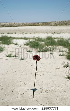 closeup of a dry red rose in the cracked soil of a desert landscape