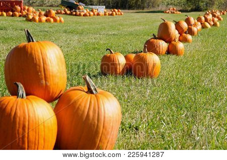 Batch Of Harvested Pumpkins On A Green Field In A Sunny Fall Day