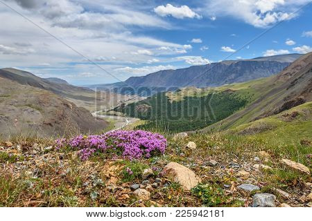 Delicate Pink Flowers Of Wild Thyme Thymus Lamiaceae On A Blurred Background Of Mountains, Valley, R