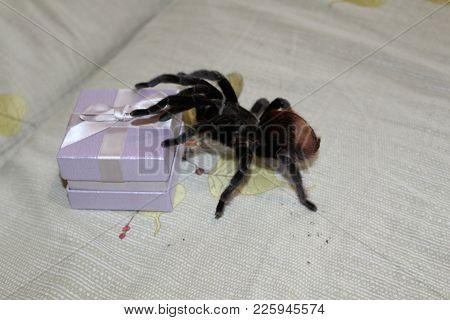 Tarantula, Brachypelma Vagans Hibrid, Curly-hair Tarantula Spider