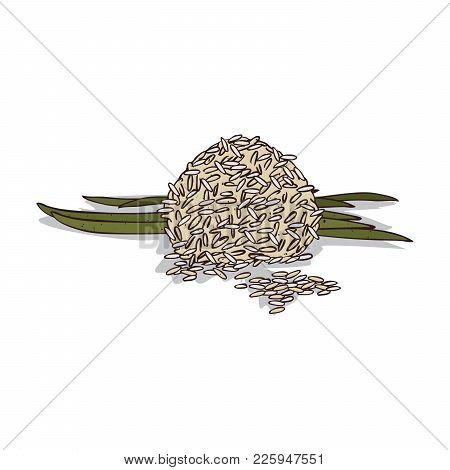 Isolated Clipart Of Plant Rice On White Background. Botanical Drawing Of Herb Rice Bran And Stalks W