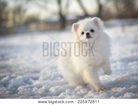 White Little Cheerful Spitz Dog Puppy On Snow In Winter In Beautiful Sun Rays