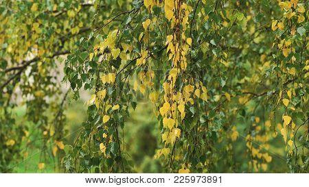 Rain Drops On The Branches Of A Birch On A Rainy Autumn Day.birch Tree, Rainy Autumn.september Autum
