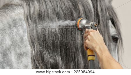 Long glitter mane of gray horse is washed with water from hose. Selective focus on hand with hose, blur mane.