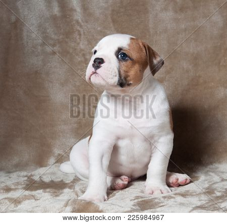 Funny Small Red White Color American Bulldog Puppy On Light Background. The American Bulldog Puppy I