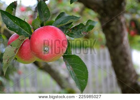 Closeup Of Untreated Apples At The Tree - Organic Fruit