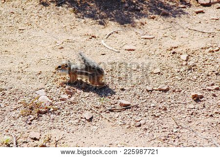 Cute Gopher Springing In Desert. Close Up View. Grand Canyon. Beautiful Nature Background.