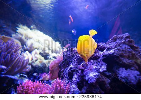 Yellow Tang Fish In Shallow Coral Reefs Search For Food In Live Rocks - Yellow Tang Is Herbivore And