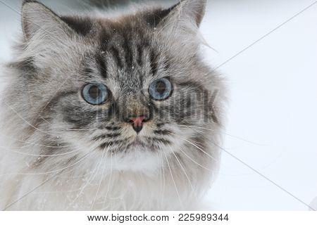 Portrait Of A Big Furry Cat Walks In The Snow, Pet Care