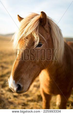 Iceland Horse During Sunset At Southern Icelandic Coast Iceland Pony