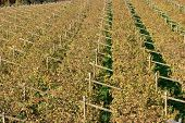 Pattern of rows of angles and vines in autumn after harves. Typical trentino landscape poster