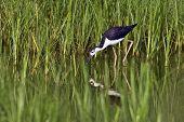 Black-Necked Stilt (Himantopus mexicanus) foraging in habitat of lush green vegetation. poster