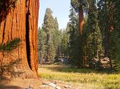 Giant sequoias on the edge of a meadow in Sequoia National Park poster